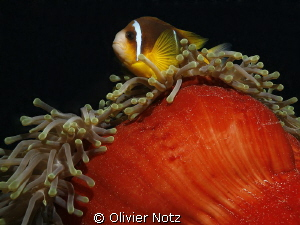 Nice dive neir El Quseir with many anemones by Olivier Notz 